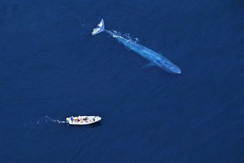 Blue Whale beside a boat